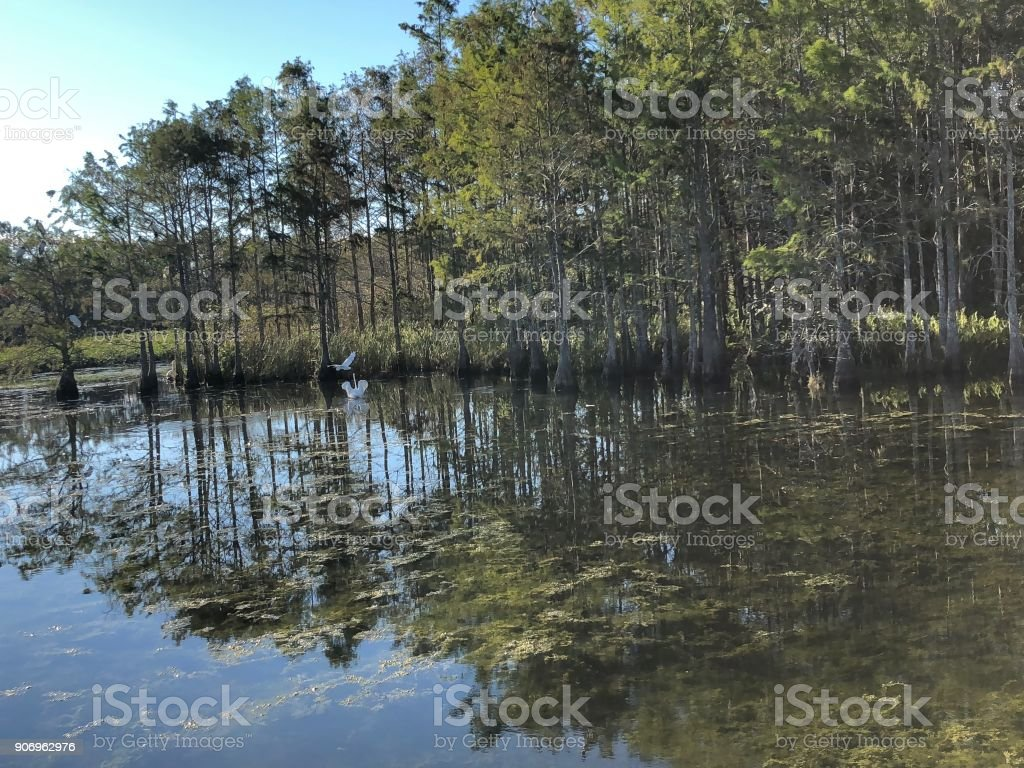 white egrets and ibis birds stock photo
