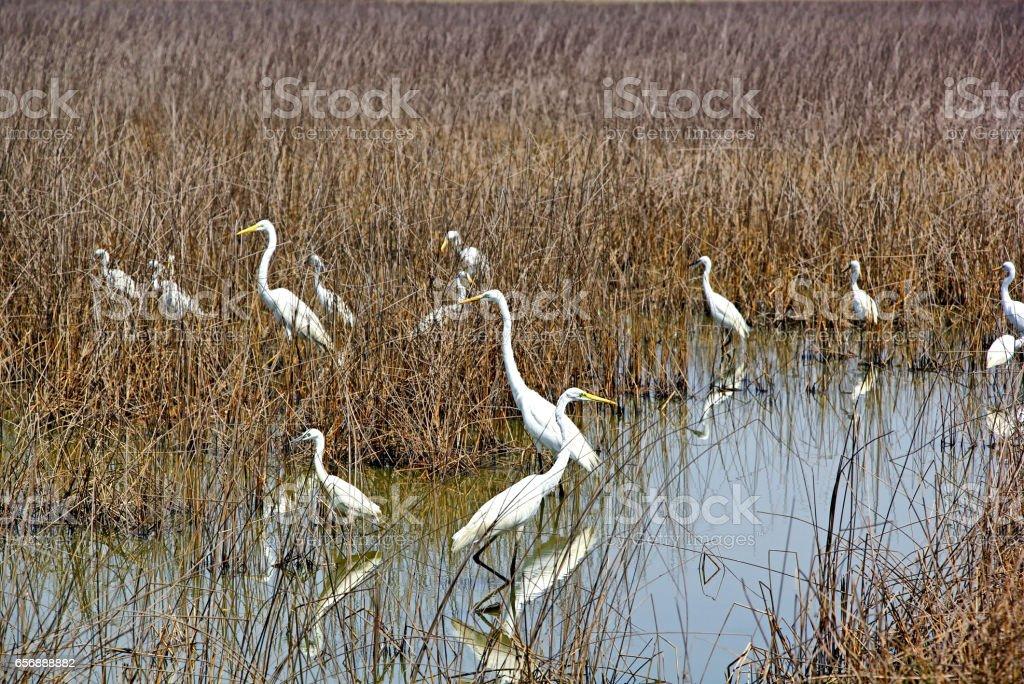 White Egrets Hunting in Marshland stock photo