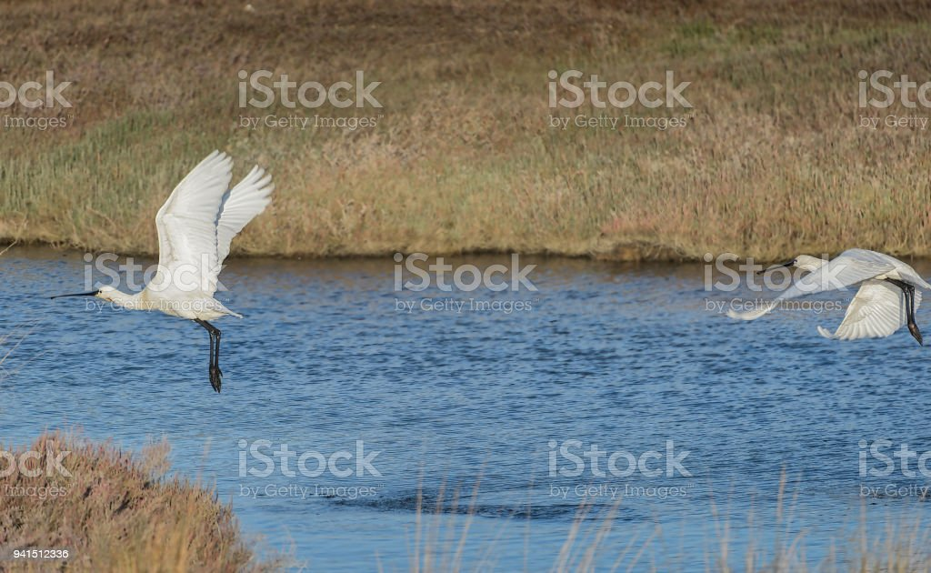 White egrets take flight on natural habitat. stock photo