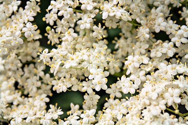 white holunderbeere blumen sambucus nigra muster - weißer holunder stock-fotos und bilder