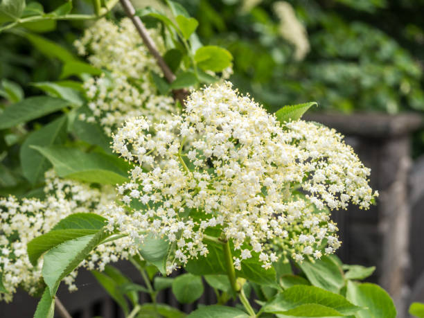 weiße Holunderblüte im Frühling – Foto