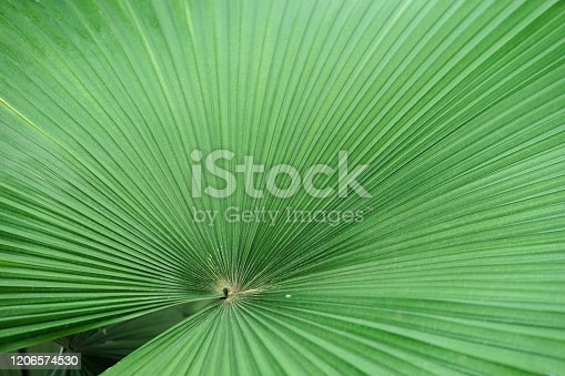 White elephant palm. A closed up texture pattern details of Kerriodoxa Elegans or commonly known as a white elephant palm.