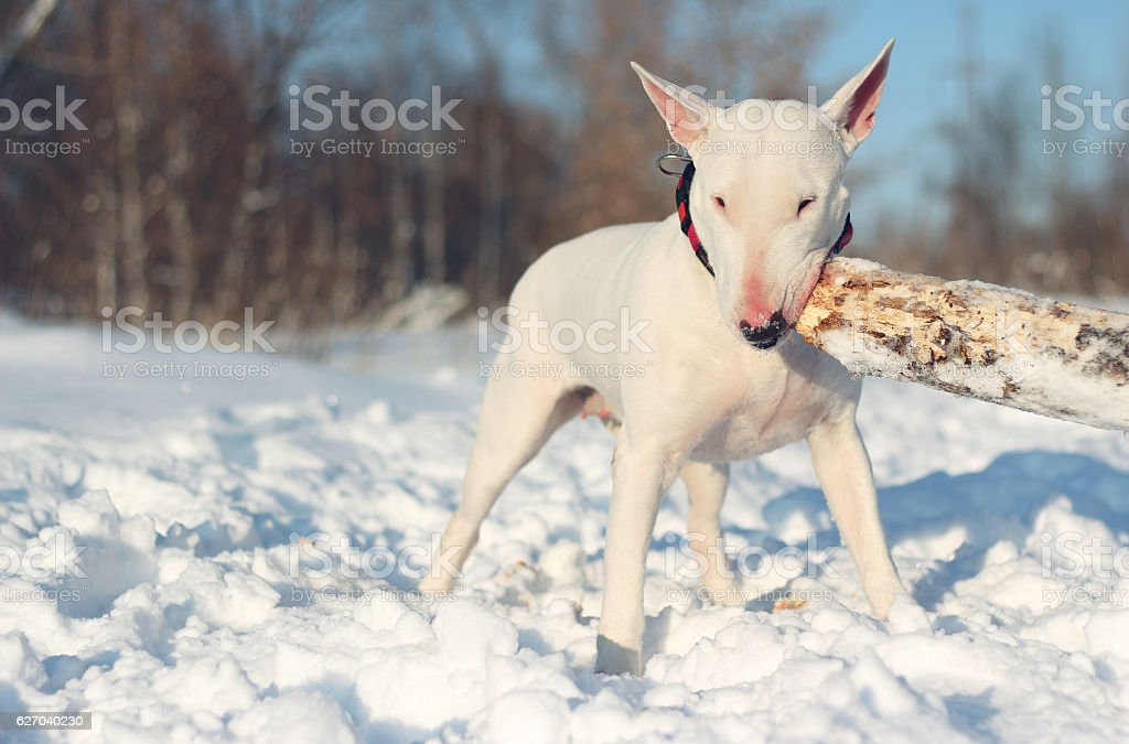 Foto de White English Bull Terrier Play With A Stick On