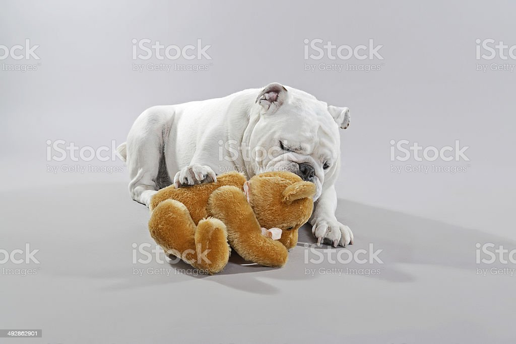 White English Bulldog Playing With Teddy Bear Stock Photo More