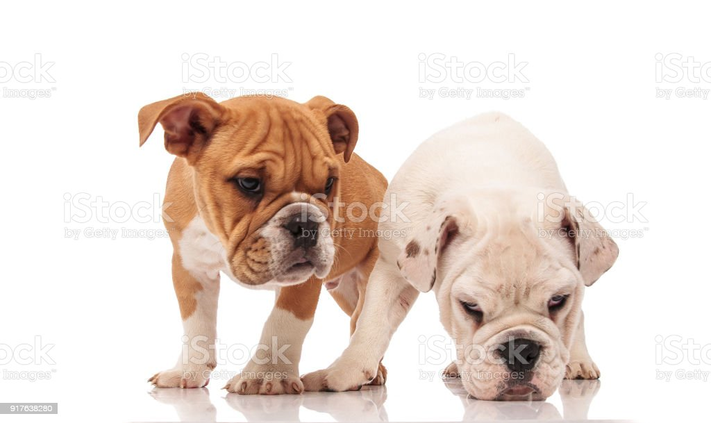 White English Bulldog Puppy Picks Up A Scent Stock Photo Download Image Now Istock