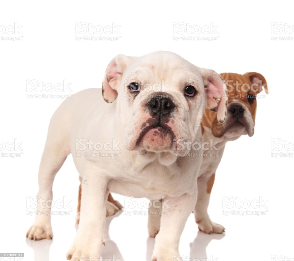 White English Bulldog Puppy Standing In Front Of Its Brother Stock Photo Download Image Now Istock