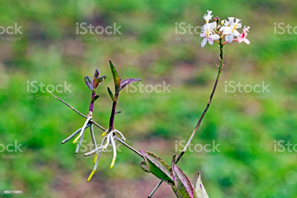 White Epidendrum Orchid and Stems with New Shoots stock photo