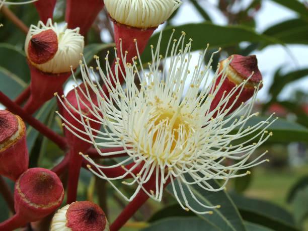 White Eucalyptus Flower stock photo