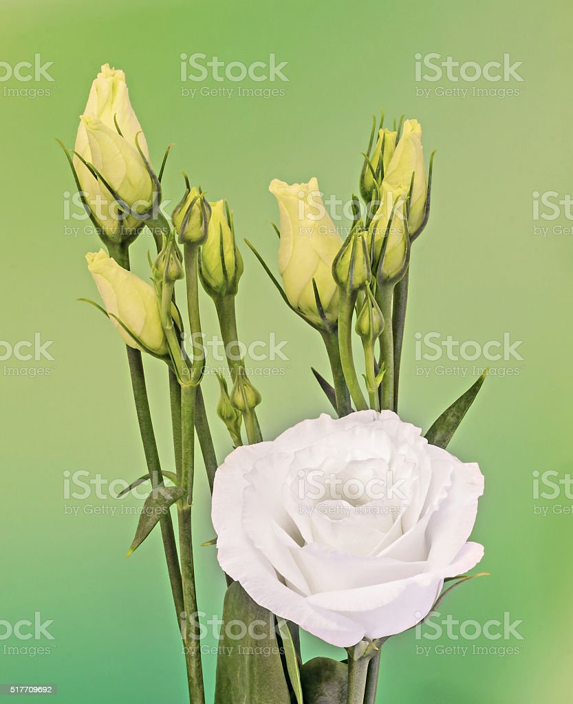 White Eustoma Lisianthus Flowers Yellow Buds Stock Photo More