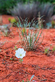 Solitary, resilient, fragrant evening primrose wildflower grows in the AZ desert. Beautiful white flower background.