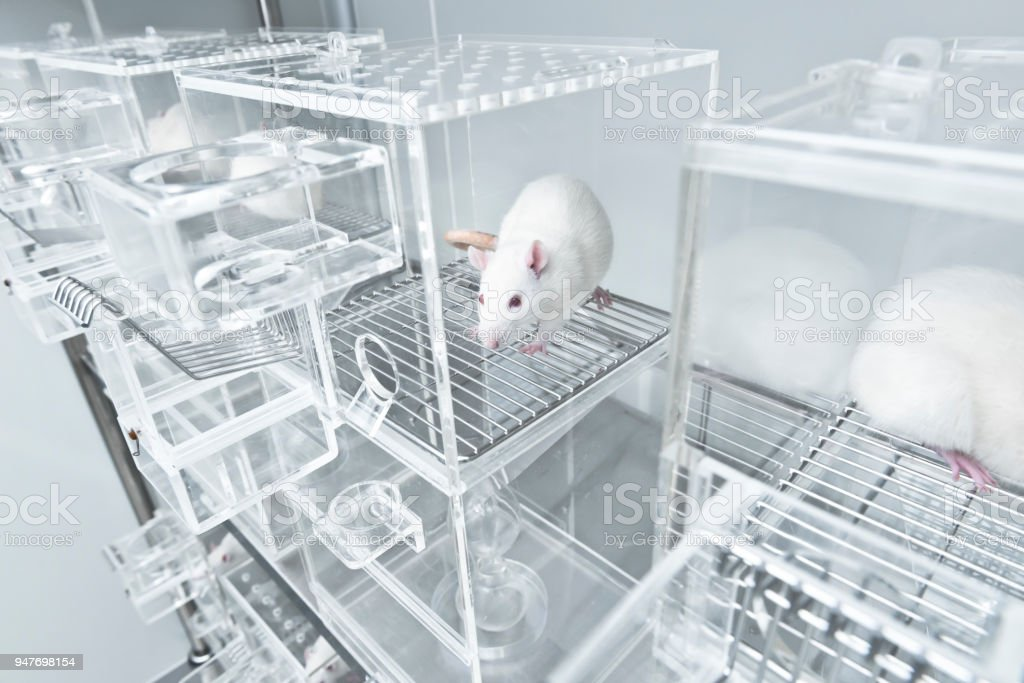 White experimental rat in the acryl metabolic cage stock photo