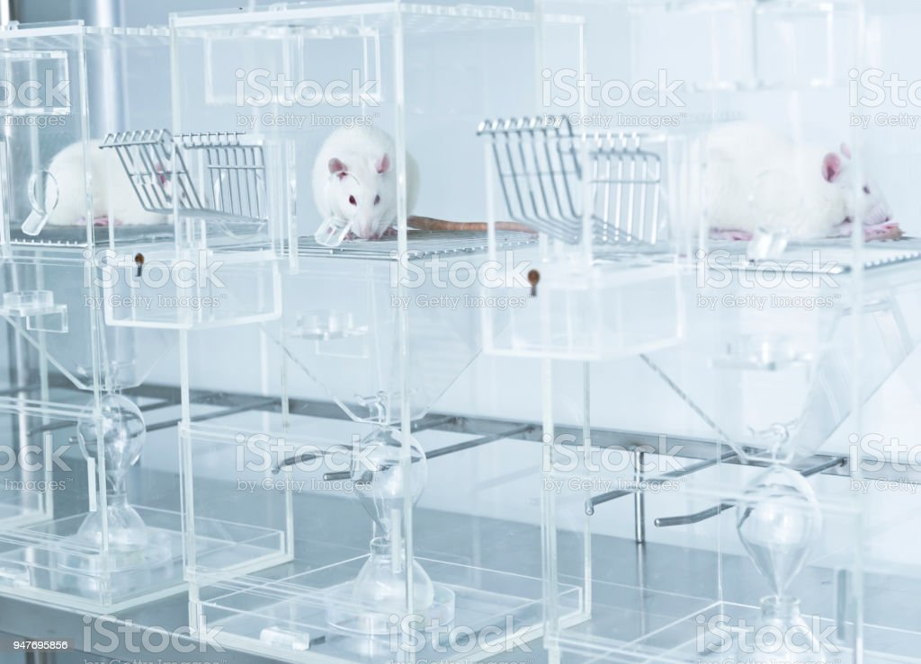 White experimental rats in the acryl metabolic cages stock photo