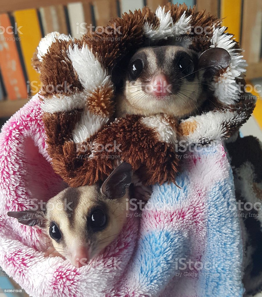 White face and normal Sugar gliders stock photo