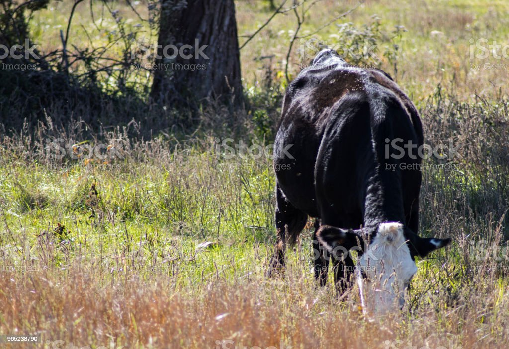 White face black cow eating in field closeup royalty-free stock photo