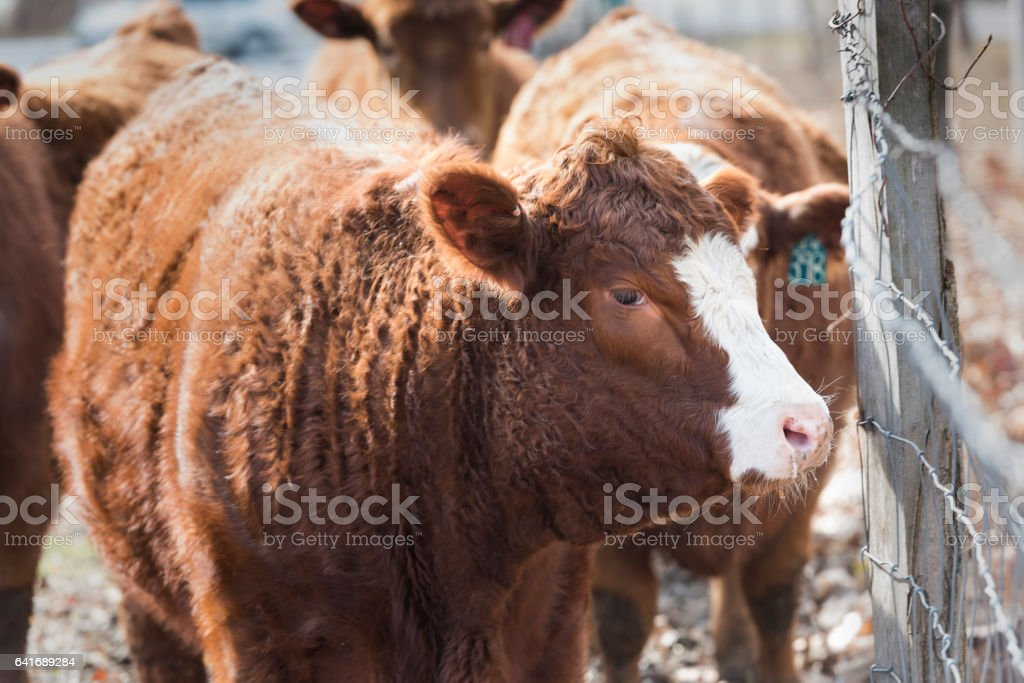 White Face Cow by Farm Fence stock photo