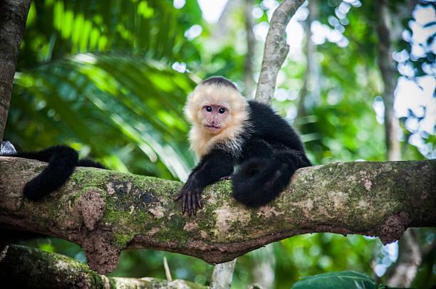 branco confrontados bebê-prego na costa rica - macaco - fotografias e filmes do acervo