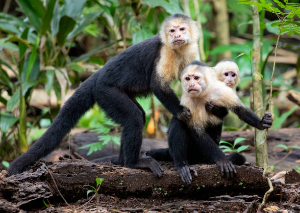 White Faced Capuchin Monkey Family in Tortuguero National Park, Costa Rica White Faced Capuchin Monkey Family, Cebus capucinus, Tortuguero National Park, Costa Rica limoen stock pictures, royalty-free photos & images