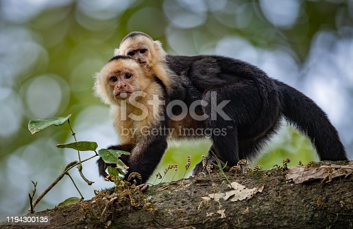 White faced Capuchin monkey in costa rica in the rainforest