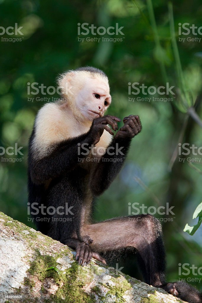 White Faced Capuchin Monkey looking at Hands stock photo