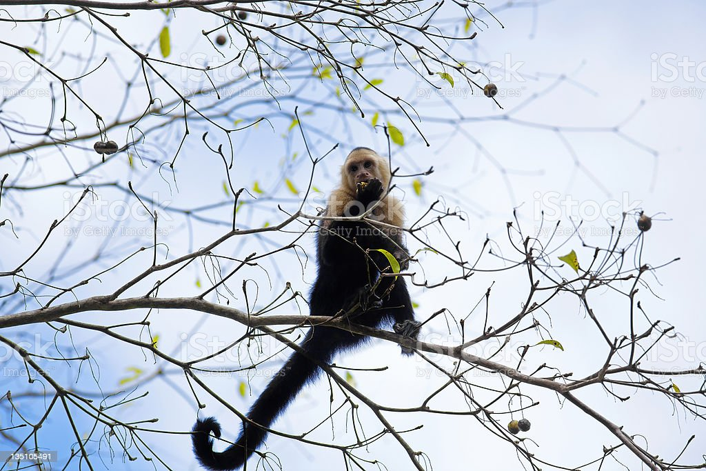 White faced Capuchin royalty-free stock photo
