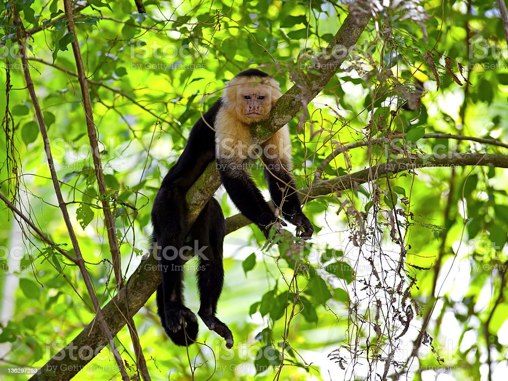 White faced Capuchin stock photo