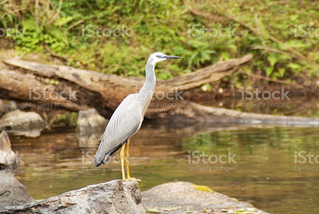White Faced Heron Creek Fishing stock photo