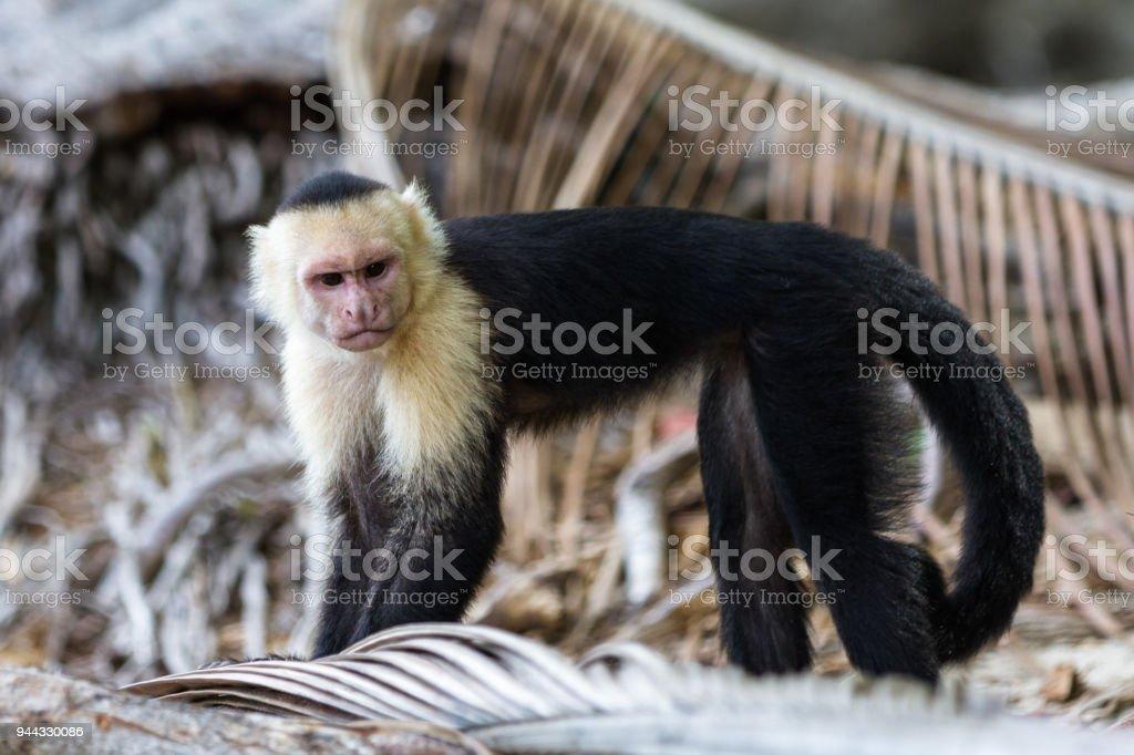 white faced monkey stock photo