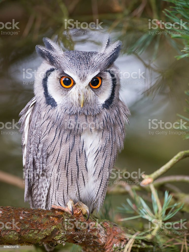 white faced scops owl stock photo