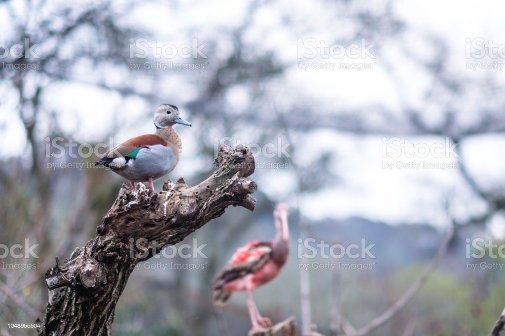 White Faced Whistling duck on a branch stock photo