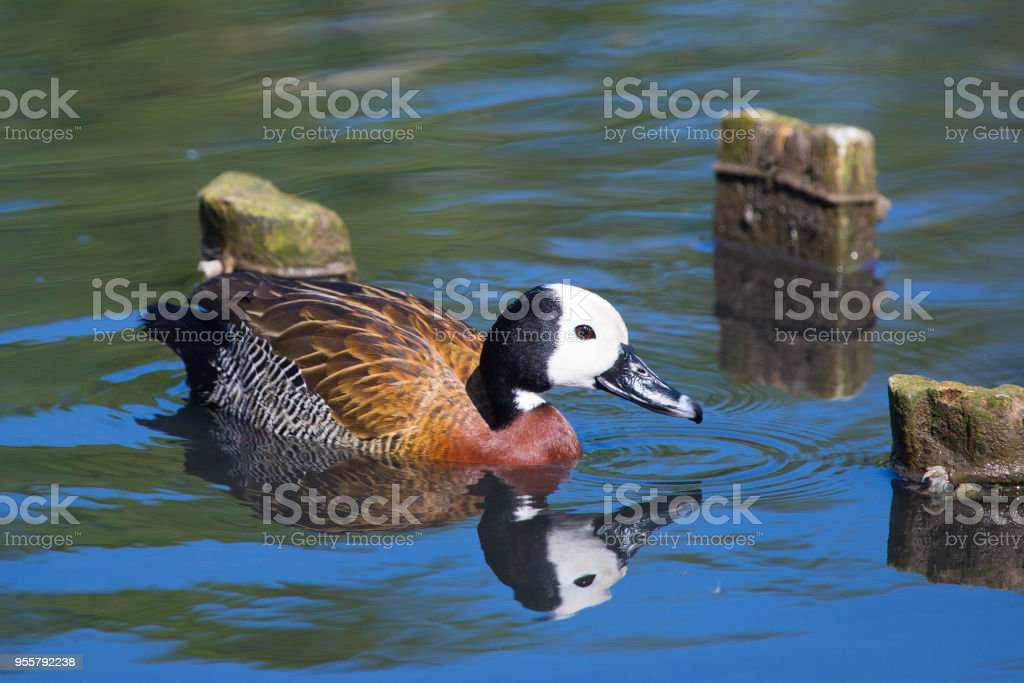 White Faced Whistling Duck stock photo