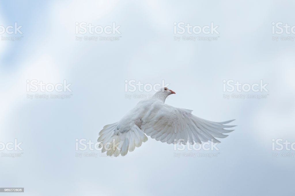white feather homing pigeon flying over sky zbiór zdjęć royalty-free