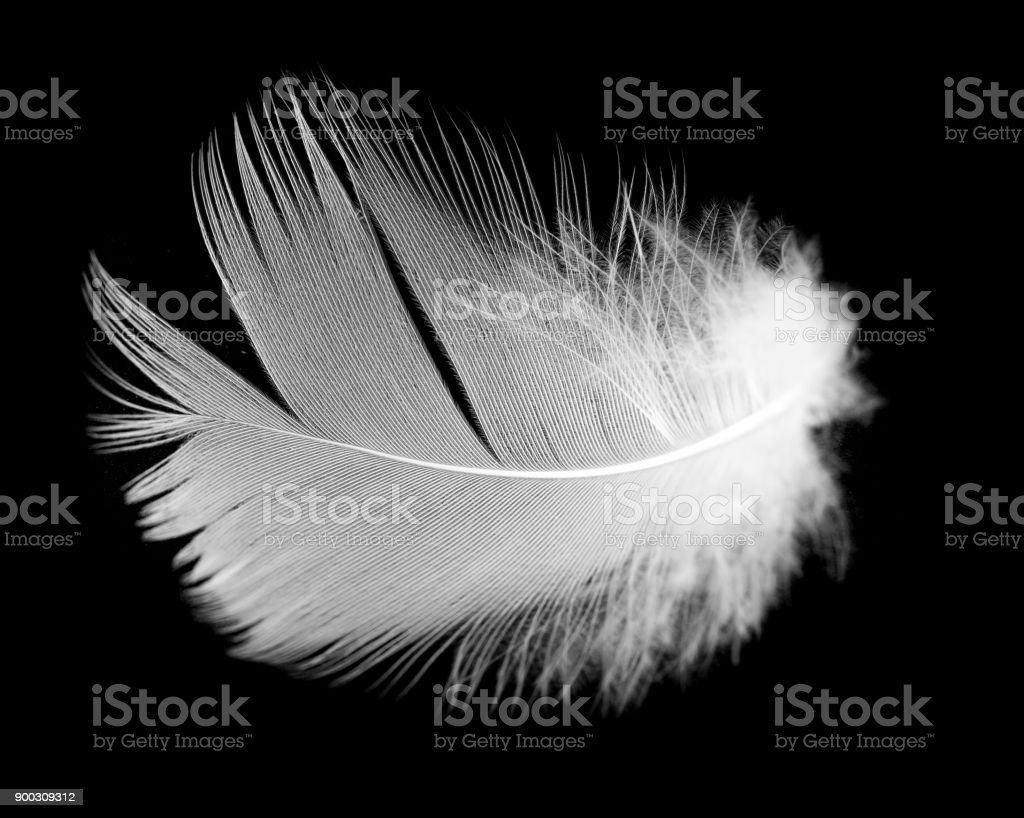 White feather of a bird on a black background stock photo