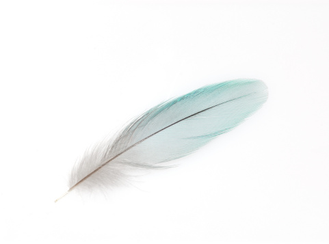 feather of a budgy
