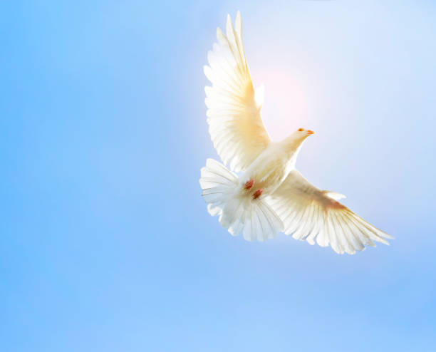 white feather wing pigeon bird flying mid air against clear blue sky stock photo