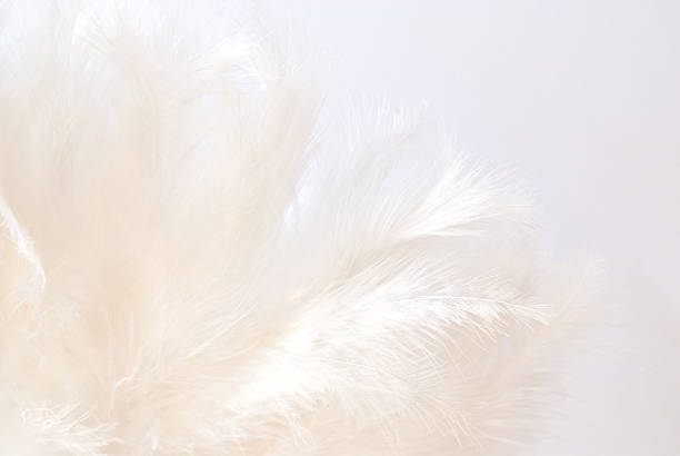 white feathers white feathers bristle animal part stock pictures, royalty-free photos & images