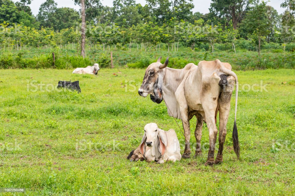 A white female brahman cow standing next to her calf stock photo