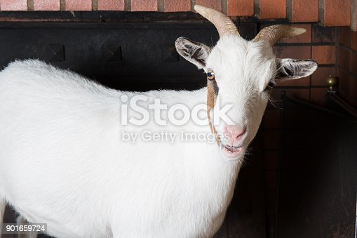 istock white female goat in home fireplace 901659724