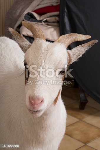 istock white female goat in home house domestic animal 901658836