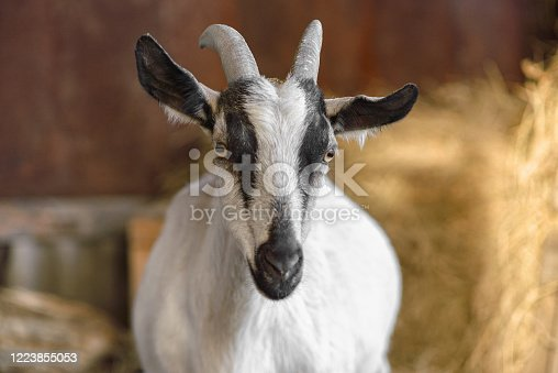510797127 istock photo A white female goat with black stripes looks at the camera. Close up, copy space, selective focus. 1223855053