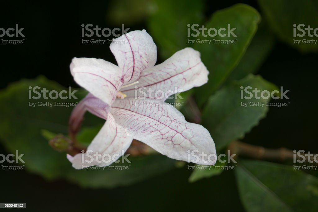 White flower, acanthaceae foto stock royalty-free