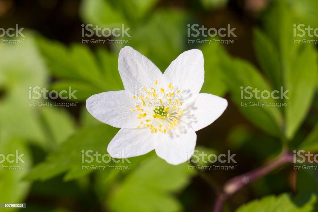 White flower Anemone nemorosa, wood anemone, windflower, thimbleweed, smell fox stock photo