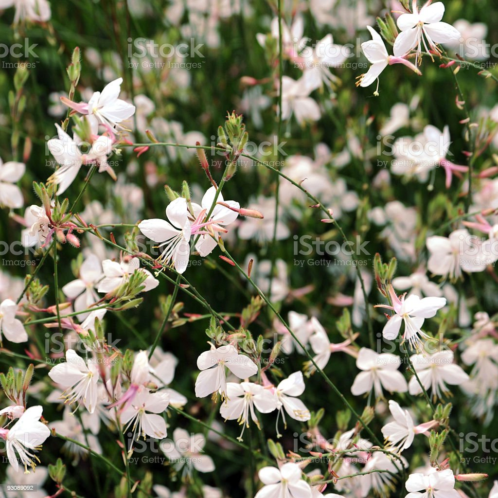 White Flower Background royalty-free stock photo