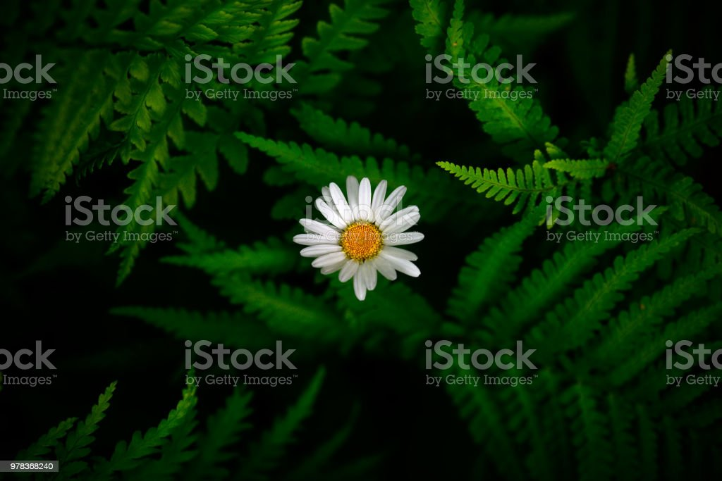 White flower between green fern leaves. stock photo