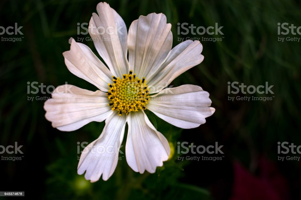 white flower bloom with yellow center stock photo