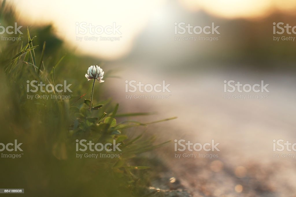 white flower by roadside. Nature outdoor autumn photo royalty-free stock photo