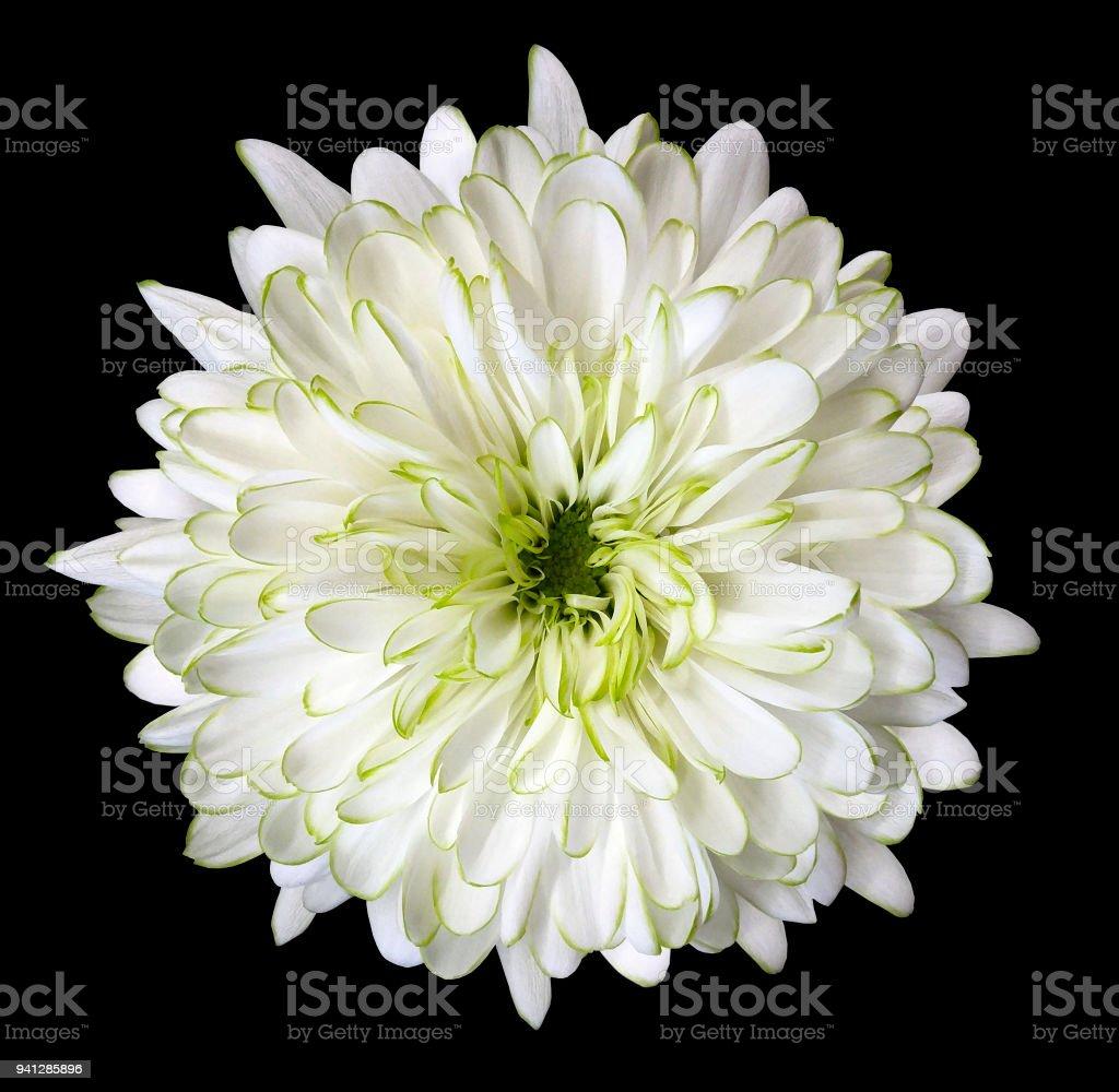 White Flower Chrysanthemum Garden Flower Black Isolated Background