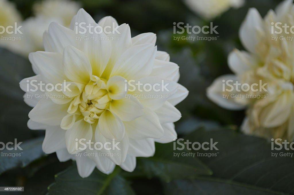 White flower close-up stock photo