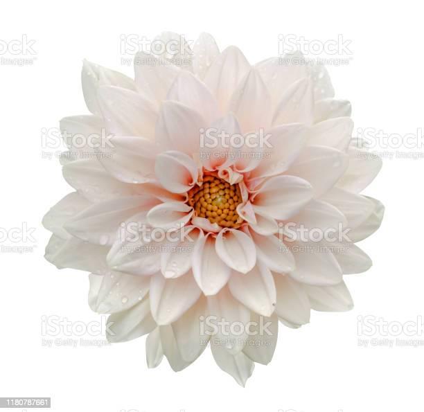 White flower dahlia macro isolated on white picture id1180787661?b=1&k=6&m=1180787661&s=612x612&h=tra8pbihbm7ibldjafkog 18hhr6gzdqhzbeeabo2hm=
