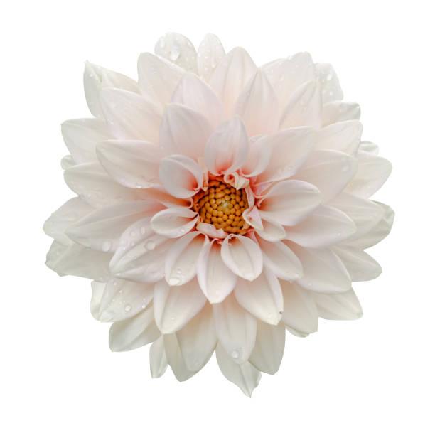 witte bloem dahlia macro geïsoleerd op wit - dahlia stockfoto's en -beelden