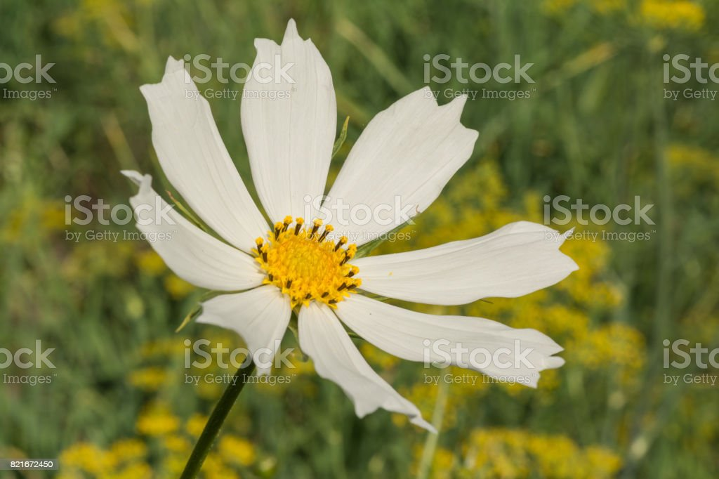 White Flower Daisy With A Stem On A Green Background Stock Photo